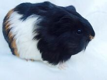 Baby guinea pigs Willetton Canning Area Preview