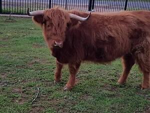 Highland Cows Kudla Gawler Area Preview