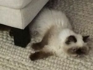 Missing- Himalayan cat. Forster Great Lakes Area Preview