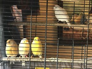 Canary Canari Canary's  for sale L@@K