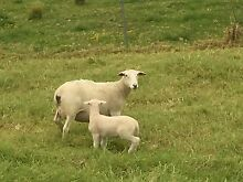 Dorper ewes and lambs Gerringong Kiama Area Preview