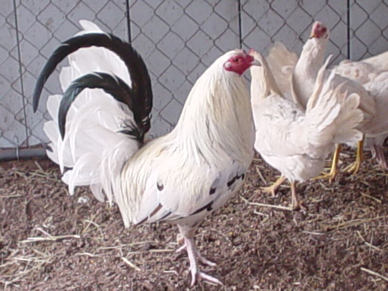 """""""(10+) LC Pure White Kelso Poultry Chicken Hatching Eggs"""""""