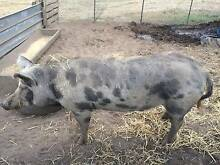 Willbour The Boar Dysart Southern Midlands Preview