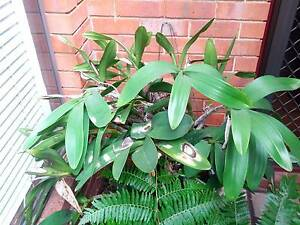 SYDNEY ROCK ORCHID - Dendrobium Speciosum - WHITE wit flower buds Mount Lawley Stirling Area Preview