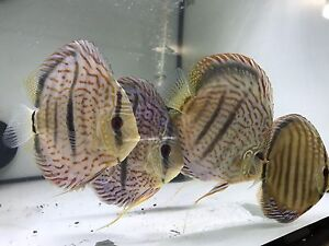 Discus Forest shipment -SPECIALS ON NOW Como South Perth Area Preview