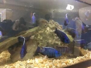Cichlids show tank and females