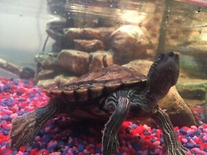 Mississippi map turtle and tank.