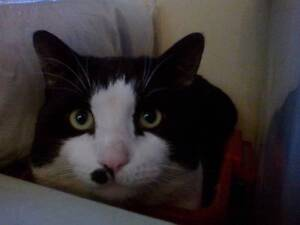 LOST BLACK AND WHITE CAT Wanneroo Wanneroo Area Preview