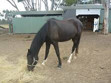 Thoroughbred/Clydie Cross Filly Meredith Golden Plains Preview