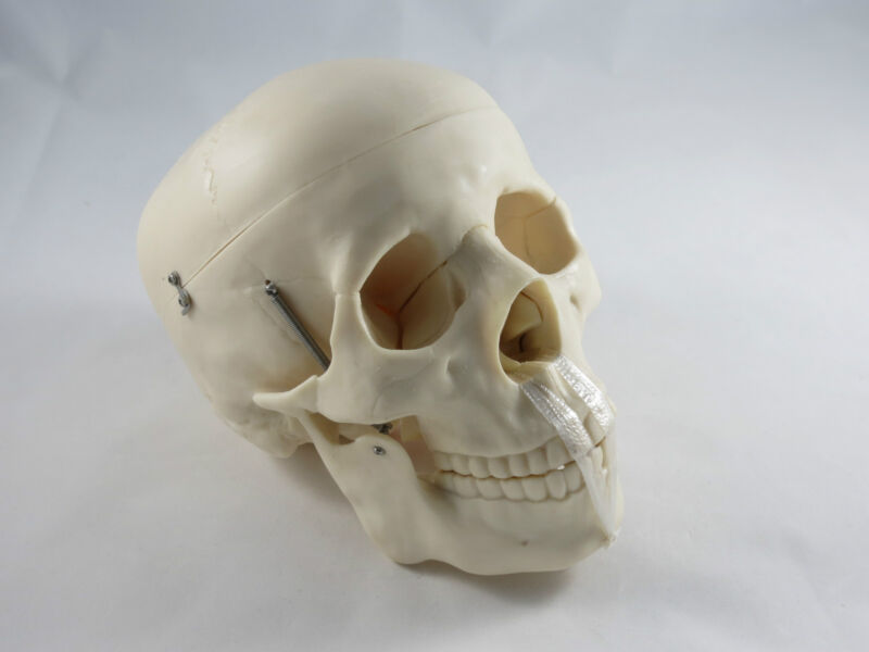 New Anatomy Professional Life Size Skull Medical Model IT-006 ANGELUS