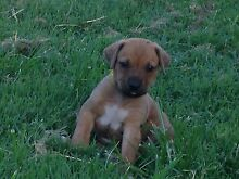 Purebred Ridgeback Pup's Gympie Gympie Area Preview
