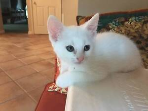AK1819 : Mint - KITTEN FOR ADOPTION - Expressions Of Interest High Wycombe Kalamunda Area Preview