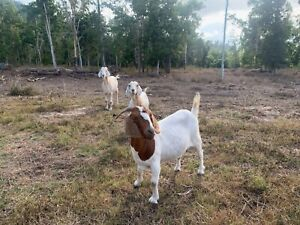 To give away Goats x3