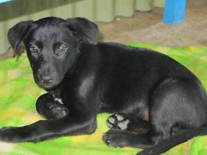 Kelpie Working Pups Boonah Ipswich South Preview
