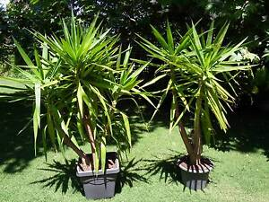 Yucca Giant 3 Yucca elephantipes Bayview Pittwater Area Preview