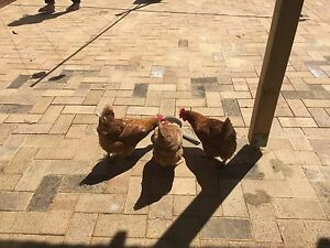Chooks for sale $20 each . Wanneroo Wanneroo Area Preview