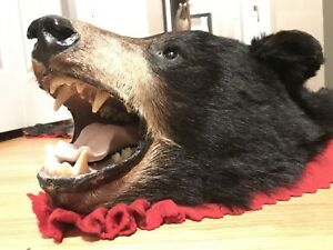 "TAXIDERMY BLACK BEAR RUG 5'2"" / 6ft nose to leg JOE's Taxidermy"