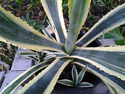 Agave plant Thornlands Redland Area Preview