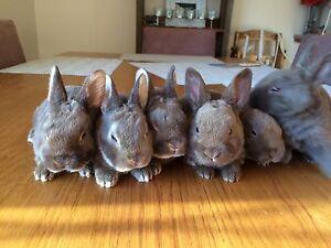 rabbits. Rex. Mini .rex.mini lop.flemish giant x Rex. West Nowra Nowra-Bomaderry Preview
