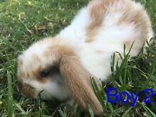 Purebred mini lop bunnies for sale Aldinga Morphett Vale Area Preview