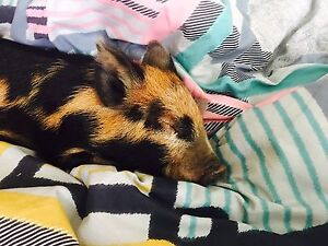 Miniature Pig Caboolture Caboolture Area Preview