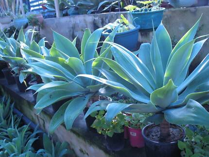 Beautiful agave plants for sale