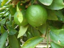 SOLD Mature Fruit trees LIME MUST SELL Extremely heathy Inglewood Stirling Area Preview