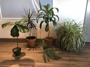 Various house plants (fiddle leaf fig, dracena, etc)