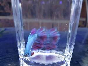 Fighter fish (beta) male and females FROM $5 Cabramatta West Fairfield Area Preview