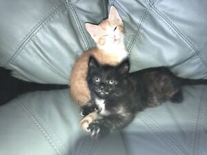 Kittens! Excellent, healthy, potty trained, socialize kittens