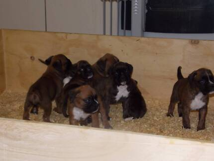 Boxer pups Blaxlands Ridge Hawkesbury Area Preview