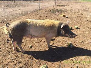 Breeding pair of pigs Mareeba Tablelands Preview