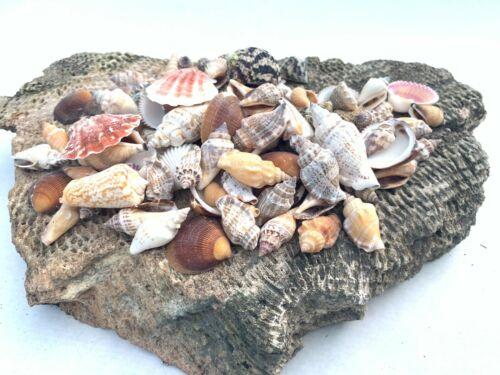 Medium Mixed Seashells Sea Shells Best Price US Seller FREE Ship!