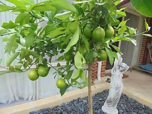 MEYER LEMON TREE + OTHER FRUIT TREES, ORANGE, MANDARINE Canning Vale Canning Area Preview