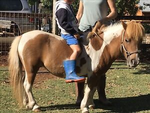 Minature ponies for sale