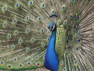 1 India Blue Peacock Hatching Egg From Unrelated Birds