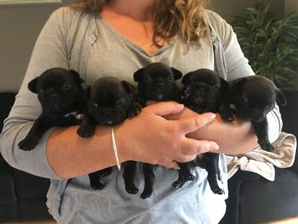 French bulldog puppies for sale- 2 females left!