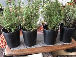 Large Pots Rosemary & Lavender $10Each Westmead Parramatta Area Preview
