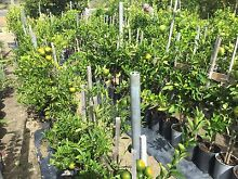 New Citrus, Olive and Weeping Mulberry Trees all grafted and in pots Wattle Grove Kalamunda Area Preview