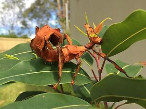 Spiny Leaf Insects and Crowned Stick Insects-lichen form for SALE Pymble Ku-ring-gai Area Preview