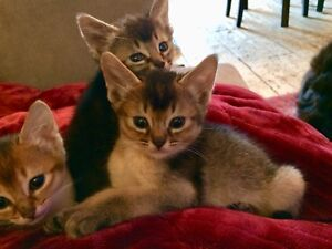 Chatons Abyssins