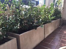 Viburnum Hedges X 3 in designer pots $60 each Bondi Junction Eastern Suburbs Preview