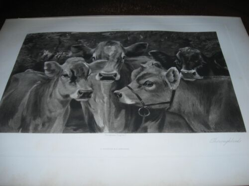 1890 Art Print ENGRAVING - JERSEY CATTLE Cow THOROUGHBREDS Dairy Farming COWS