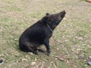 WANTED Pig Agistment Arndell Park Blacktown Area Preview