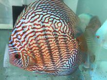 - HIGH PENANG grade CHEN DISCUS tropical fish -NEW SHIPMENT Como South Perth Area Preview