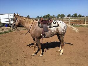 Appaloosa mare for sale Collie Collie Area Preview