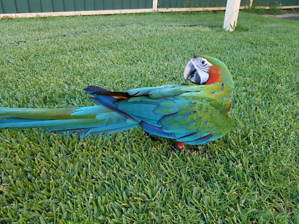 Harlequin Macaw Hen.  Comes with Aviary, Toys, Food. Today Only..