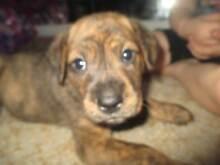 Rotti x mastiff Puppies Rockhampton 4700 Rockhampton City Preview