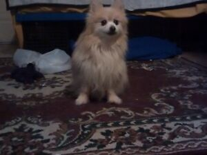 Pomeranian 100$ if you can't afford don't texting me