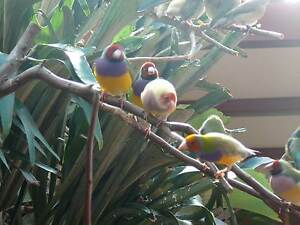 Gouldian Finches Dawesville Mandurah Area Preview